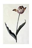 Tulip, C.1745 Giclee Print by Georg Dionysius Ehret