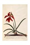 Lilio-Narcissus, Jaobean Lily, C.1743 Giclee Print by Georg Dionysius Ehret