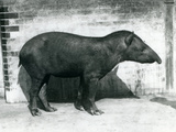 A Brazilian/South American Tapir at London Zoo, October 1922 Photographic Print by Frederick William Bond