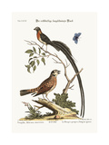The Red-Breasted Long-Tailed Finch, 1749-73 Giclee Print by George Edwards