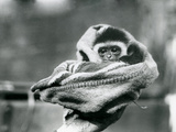 A Baby Gibbon Wrapped in a Blanket and Held in One Hand at London Zoo, June 1922 Photographic Print by Frederick William Bond