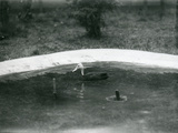 A Pair of Pink-Headed Ducks at Foxwarren Park in June 1926 Photographic Print by Frederick William Bond