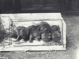 Jackal Pups in a Box, 1915 Photographic Print by Frederick William Bond