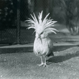 A Kagu or Cagu Displaying its Crest Feathers at London Zoo, June 1921 Photographic Print by Frederick William Bond