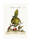 The Brown-Throated Parrakeet, 1749-73 Giclee Print by George Edwards