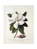 Magnolia Grandiflora, C.1743 Giclée-tryk af Georg Dionysius Ehret
