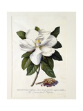 Magnolia Grandiflora, C.1743 Giclee Print by Georg Dionysius Ehret