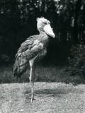 A Shoebill or Whale-Headed Stork at London Zoo, June 1914 Photographic Print by Frederick William Bond