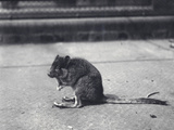 Brush-Tailed Rock-Wallaby at London Zoo, June 1916 Photographic Print by Frederick William Bond