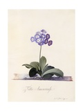 Garden Auricula, Fille Amoureuse, C.1743 Giclee Print by Georg Dionysius Ehret