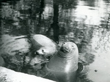 Two Southern Elephant Seals in their Pool at London Zoo, 20th April 1914 Photographic Print by Frederick William Bond