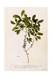 Bayberry or Myrtle, C.1746 Giclee Print by Georg Dionysius Ehret