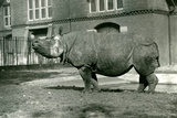 An Indian Rhinoceros at London Zoo, October 1922 Photographic Print by Frederick William Bond
