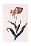 Tulip, C.1744 Giclee Print by Georg Dionysius Ehret