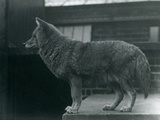 A Coyote at London Zoo, October 1920 Photographic Print by Frederick William Bond