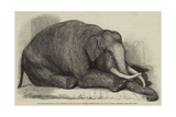 The Dead Elephant at the Gardens of the Zoological Society, Regent'S-Park Giclee Print by George Landseer