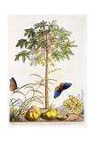 Papaya, C.1748 Giclee Print by Georg Dionysius Ehret