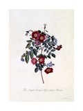 The Royal Virgin Rose Without Thorns, C.1745 Giclee Print by Georg Dionysius Ehret