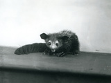 An Aye-Aye at London Zoo, October, 1913 Photographic Print by Frederick William Bond