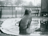 A Southern Elephant Seal at London Zoo, January 1912 Photographic Print by Frederick William Bond