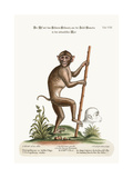 The Pig-Tailed Monkey, from the Island of Sumatra, in the Indian Sea, 1749-73 Giclee Print by George Edwards