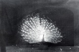 White Peacock Photographic Print by Frederick William Bond