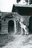 Giraffe with 3 Day Old Baby and Keeper at London Zoo, 1914 Giclee Print by Frederick William Bond