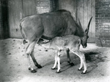 An Eland Antelope Feeding its Young at London Zoo, 1920 Photographic Print by Frederick William Bond