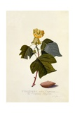 The Virginian Tulip Tree, C.1743 Giclee Print by Georg Dionysius Ehret