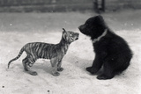 Tiger Cub Meets Bear Cub, 1914 Photographic Print by Frederick William Bond