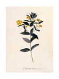 Yellow Loosestrife, C.1760 Giclee Print by Georg Dionysius Ehret