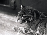 Clouded Leopard, 1922 Photographic Print by Frederick William Bond