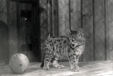 Leopard Cub with a Ball Photographic Print by Frederick William Bond