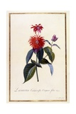 Oswego Tea Plant, C.1740 Giclee Print by Georg Dionysius Ehret