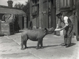 An African Rhinoceros, Kathlene, and Keeper Harry Warryck at Zsl London Zoo, September 1928 Photographic Print by Frederick William Bond