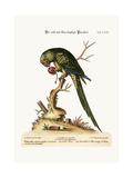 The Red and Blue-Headed Parrakeet, 1749-73 Giclee Print by George Edwards