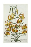 American Turkscap Lily, C.1740 Giclee Print by Georg Dionysius Ehret