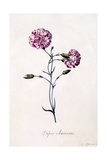 Difor Amourius, Carnation, C.1745 Giclee Print by Georg Dionysius Ehret