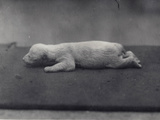 Polar Bear Cub with Eyes Not Yet Open, Lying on a Blanket at London Zoo, January 1920 Photographic Print by Frederick William Bond