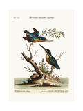 The Little Indian Kingfishers, 1749-73 Giclee Print by George Edwards