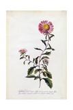 Aster, C.1743 Giclee Print by Georg Dionysius Ehret