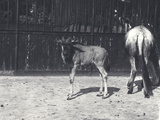 Gnu or Wildebeest and Young at London Zoo, August 1917 Photographic Print by Frederick William Bond