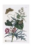 Abutilon and Convolvulus, C.1748 Giclee Print by Georg Dionysius Ehret