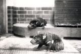 Tasmanian Devils Photographic Print by Frederick William Bond