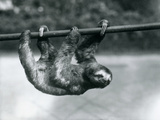 A Three-Toed Sloth Slowly Makes its Way Along a Pole at London Zoo, C.1913 Photographic Print by Frederick William Bond