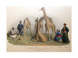 The Giraffes with the Arabs, 1836 Giclee Print by George The Elder Scharf