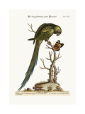 The Long-Tailed Green Parrakeet, 1749-73 Giclee Print by George Edwards