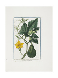 Vegetable Print, from Hortus Romanus, Vol. I or II, 1772-1793 Giclee Print by Giorgio Bonelli