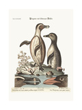 The Black-Footed Penguins, 1749-73 Giclee Print by George Edwards