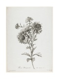Reine-Marguerite, from Fleurs Dessinees D'Apres Nature, C. 1800 Giclee Print by Gerard Van Spaendonck